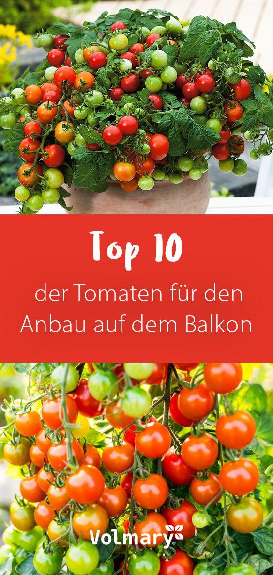 Photo of Die beliebtesten Tomaten für den Anbau auf dem Balkon