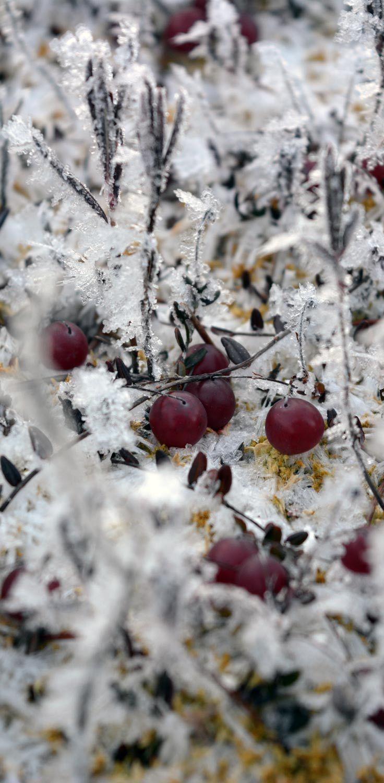 Poimin ämpärini pohjalle karpaloita jäiseltä suolta.  Cranberries on an icy peat bog.