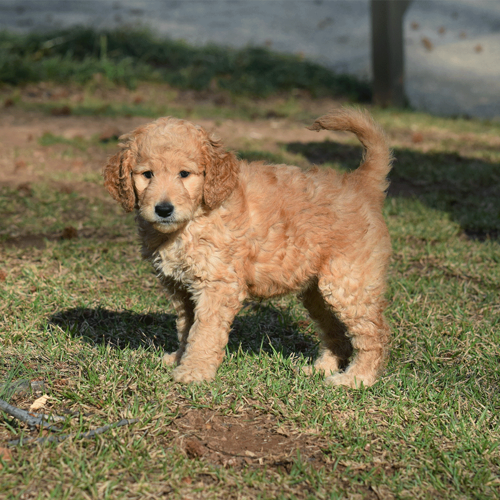 Hypoallergenic Golden Retriever Poodle Mix Goldendoodle Puppy Doodles Poodle Mix Puppies Golden Retriever Poodle Mix Golden Retriever