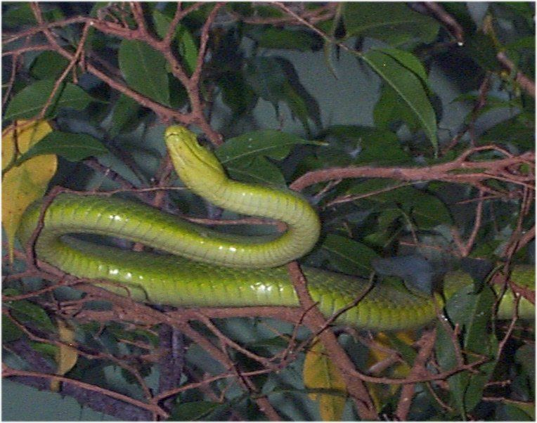 Green Mamba: cool
