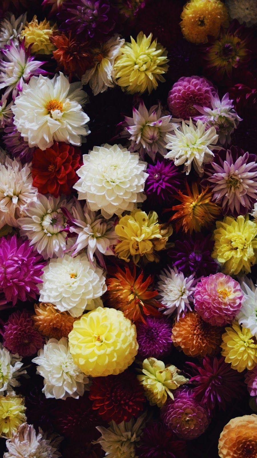 Dark Dahlias Flower Pictures