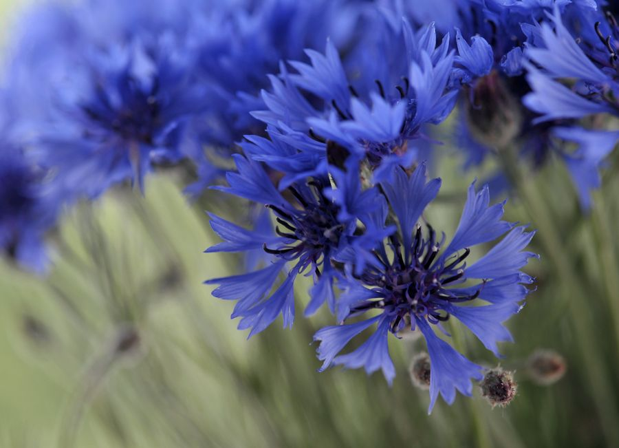 Pin by Melody 🎶 on Árvores e flores Plants, Cornflower
