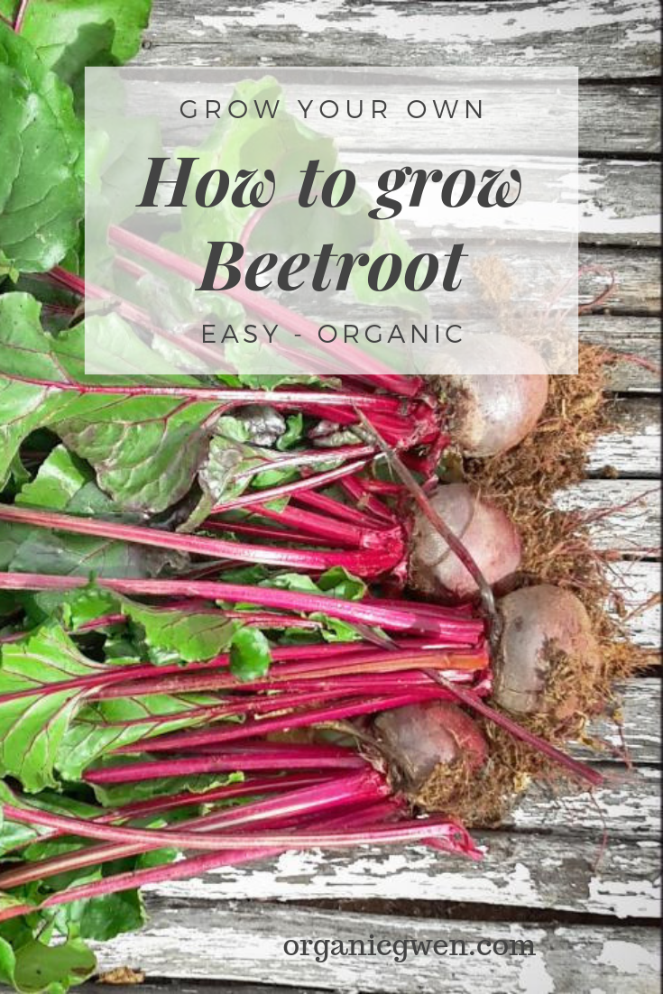 6 Easy Steps To Grow Beetroot From Seed Organic Gwen Organic Vegetable Garden Organic Vegetables Beetroot