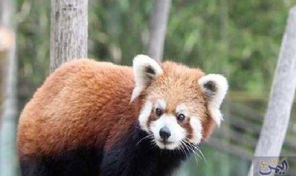 كشف النقاب عن دببة الباندا الصينية للجمهور في كوريا الجنوبية Brown Bear Animals Bear