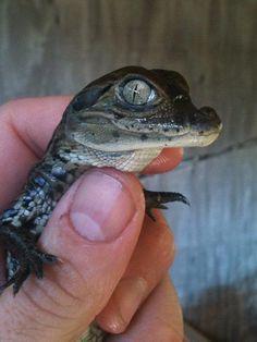 Pin By Danielle Slovik On Aligaters Pinterest Baby Alligator