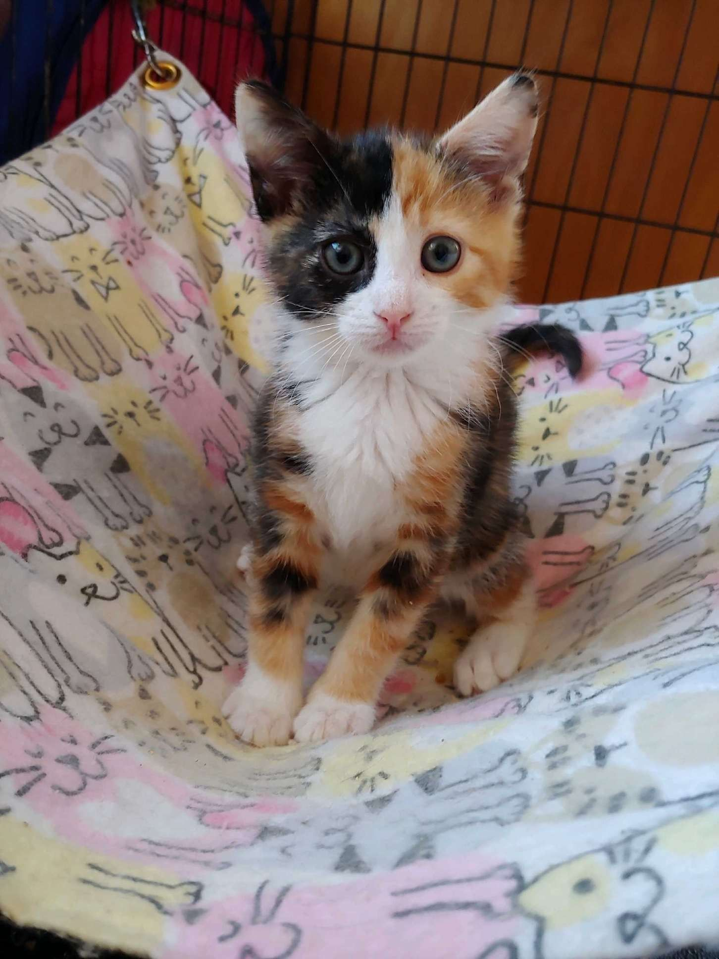 Adopt Dolley On Cats Pet Adoption Pets