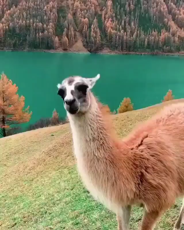 😍Colorful World!!🦙Wait for the view at last..🏔️🏔️🌲🌲❄️  #llama #llamas #SouthTirol #altoadige . . . #neverstopexploring #peoplescreative #stayandwander#iglifecz #vzcomood #awesomeearth #旅行 #igerscz#earthfocus #beautifuldestinations #dnescestujem#ourplanetdaily #景色 #travelstoke #artofvisuals#liveoutdoors #wildernessculture #exploretocreate#modernoutdoors #moodygrams #ikoktejlcz #nakedplanet#wonderful_places #adventurec