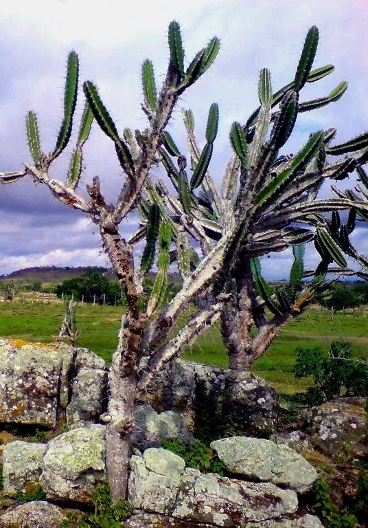 Vegetação do nordeste do Brasil
