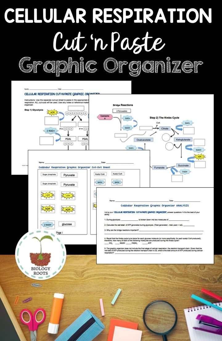 Cellular respiration cut n paste graphic organizer graphic cellular respiration activity cut n paste graphic organizer this is a 4 page hands on activity that focuses on glycolysis and the krebs cycle ccuart Image collections