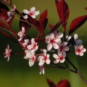 Image result for burgundy bush with white pink flowers florals image result for burgundy bush with white pink flowers mightylinksfo