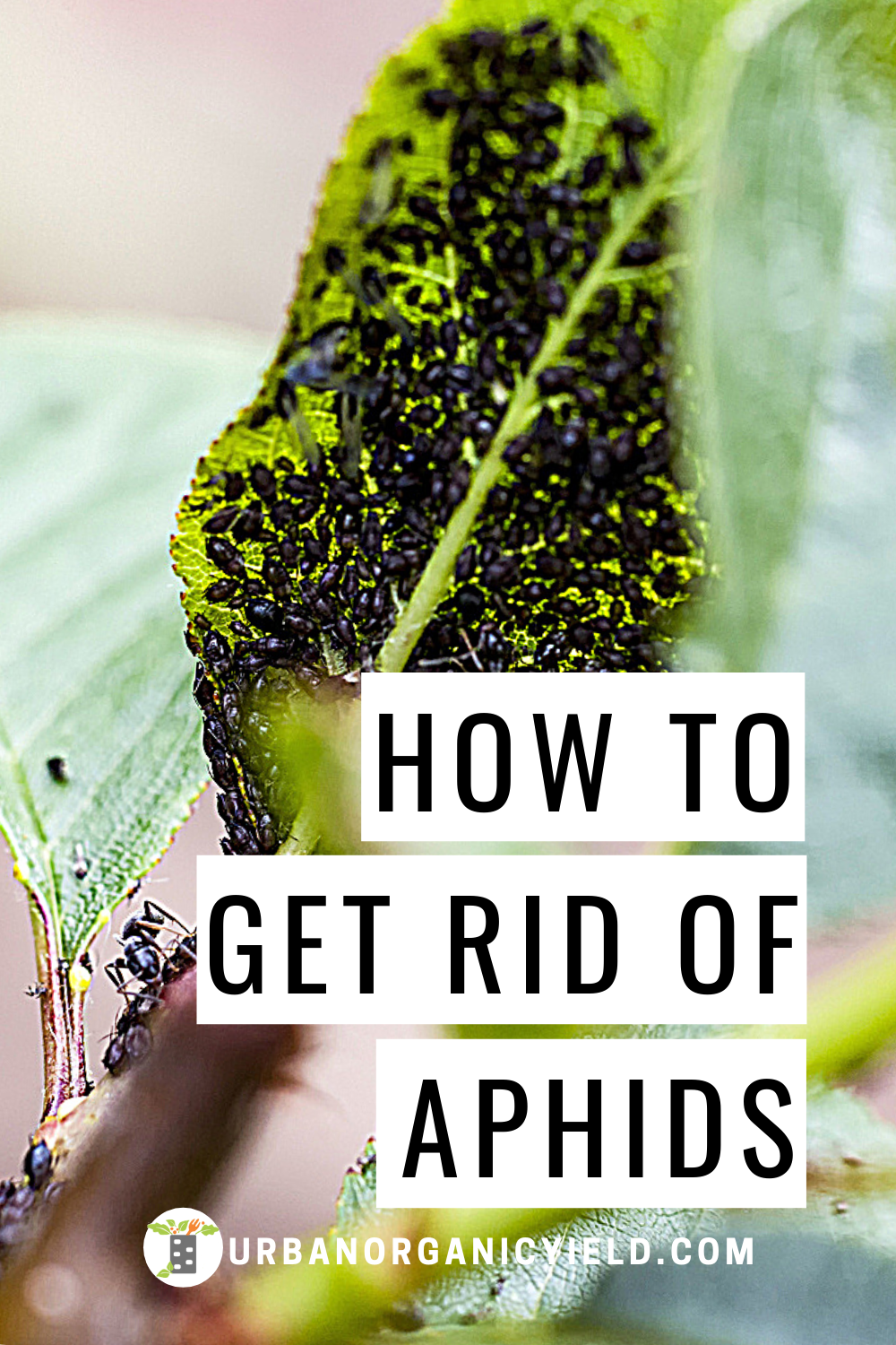 How To Get Rid Of Aphids Naturally Get Rid Of Aphids Garden Insects Aphids