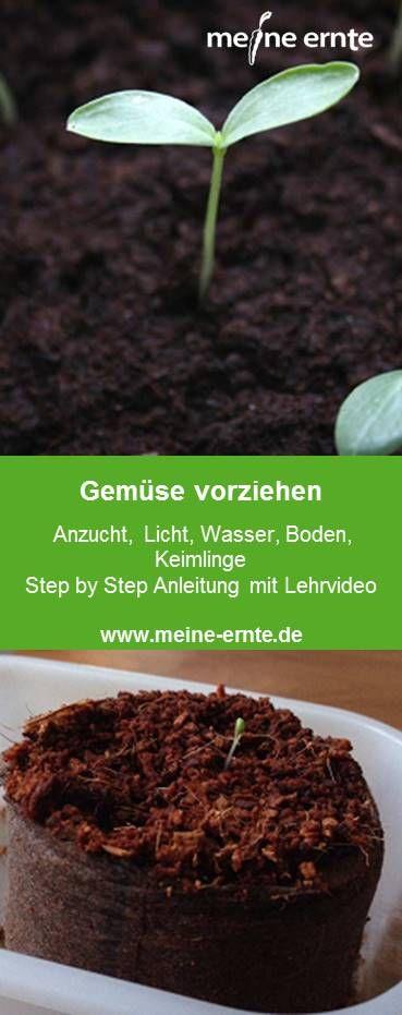 Gemüse vorziehen Anzucht, Licht, Wasser, Boden und Keimlinge Wir zeigen euch hier in unserer Step by Step Anleitung mit Lehrvideo wie es mit dem Vorziehen von Gemüse klappt. #anbauvongemüse