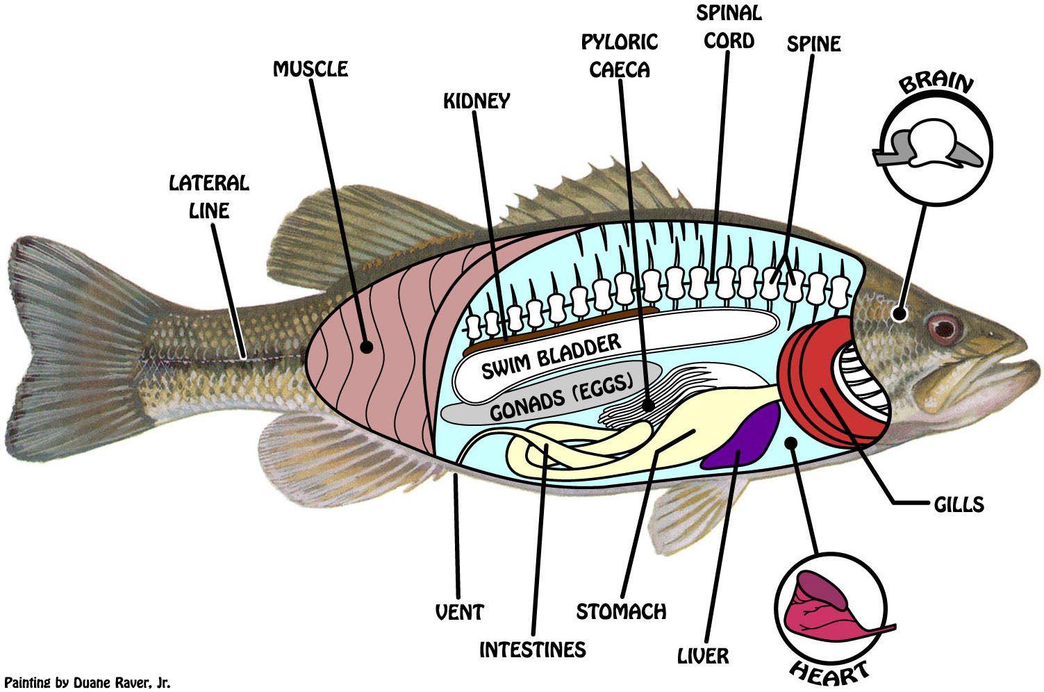 Freshwater fish anatomy -