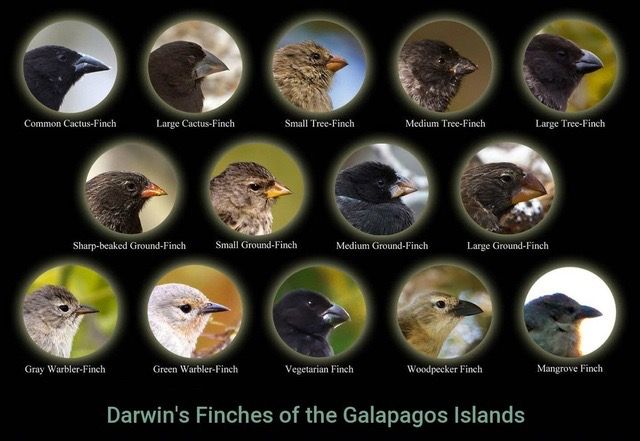 Speciation in Galapagos Finches likewise  as well Speciation Worksheet   Elace further Darwin s Finches Instructions likewise Name  Aim 46  NYS Beaks of Finches Lab Date in addition Charles Darwin's Finches and the Theory of Evolution in addition 10 e Finch Speciation worksheet doc   Finch Speciation SPECIATION IN besides Worksheet Preview by Michele Beard Blended Worksheets   Wizer me besides Darwin's Finches   STEM additionally Origin of Species Beak of the Finch Film Guide Educator Materials in addition 10 e Finch Speciation worksheet doc   Finch Speciation SPECIATION IN moreover Five Astounding Animal Adaptations in the Galapagos Islands moreover  in addition Unled furthermore Group  HHMI BioInteractive   Finch Evolution additionally NATURAL SELECTION AND THE EVOLUTION OF DARWIN'S. on finches in the galapagos worksheet