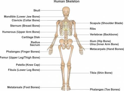 The typical human skeleton includes 206 bones in adults. More bones ...