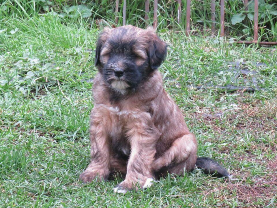 Tibet Terrier Welpen 1 Rude Und 4 Hundinnen Durfen Nun Umziehen In Thuringen Rudolstadt Ebay Kleinanzeigen Tibet Terrier Welpe Tibet Terrier Terrier