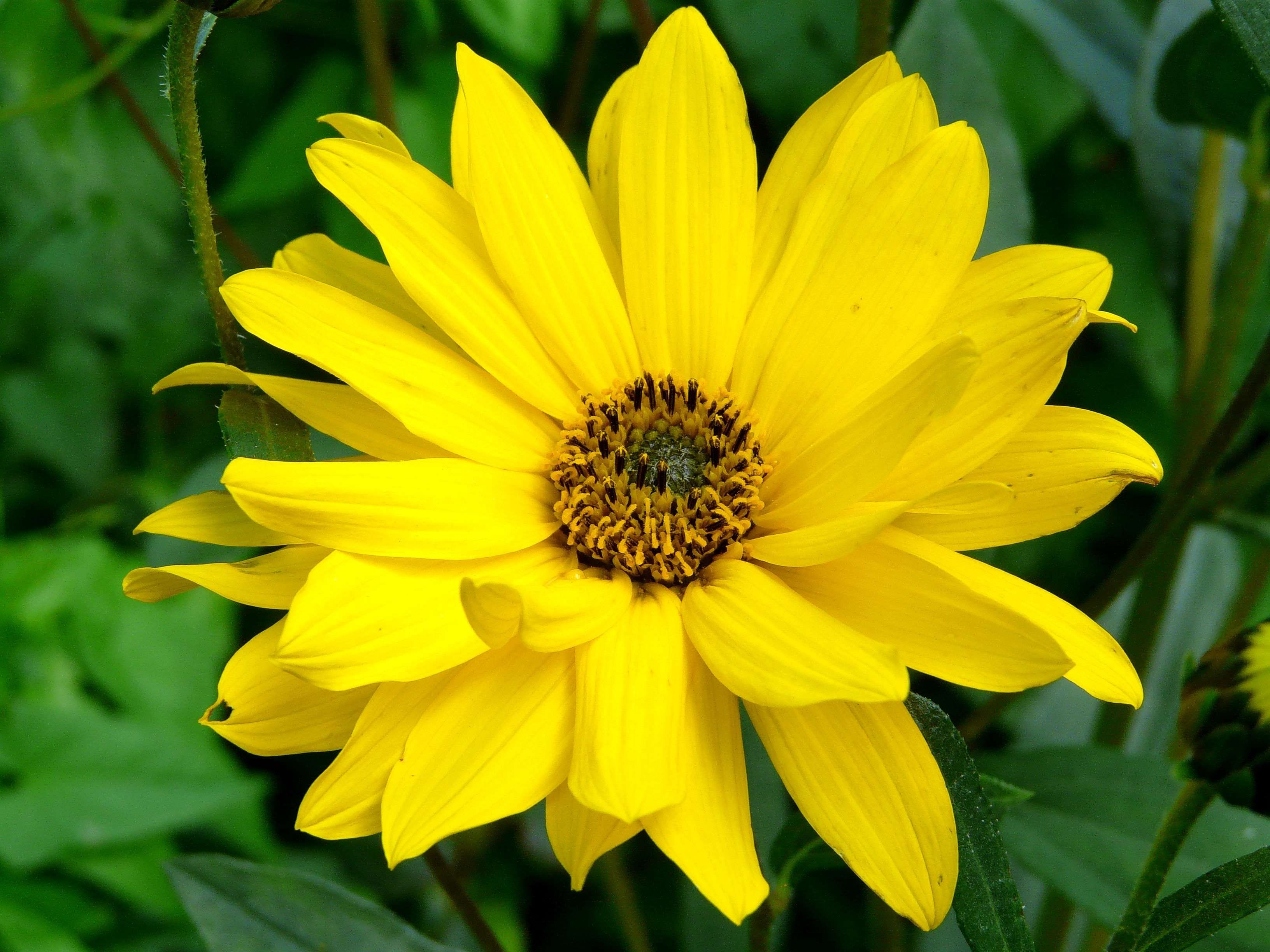 Arnica Bloom Blossom Close Flower Medicinal Plant Pointed