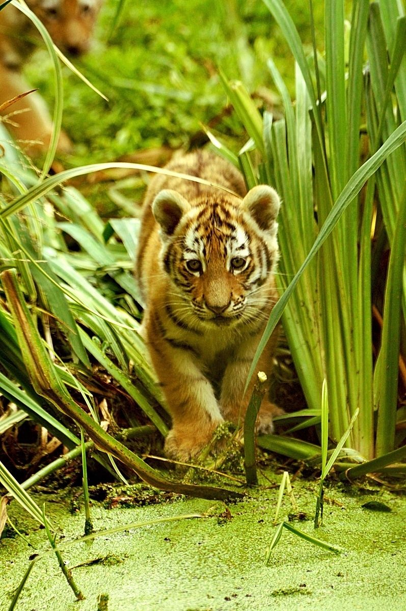 Pin By Dutchman On The Wild Kingdom Wild Cats Tiger Photography Cats And Kittens