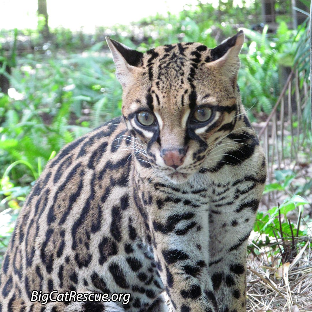 Purrfection Ocelot Is Wide Eyed And Ready To Greet The Day Photo