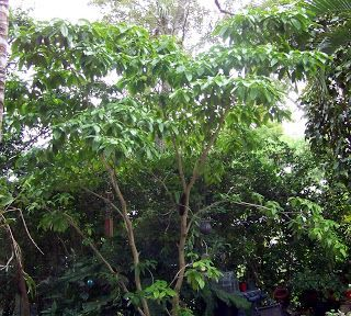 Terra Mirabilis: Stemmadinia littoralis: An ideal tree for a small, tropical garden