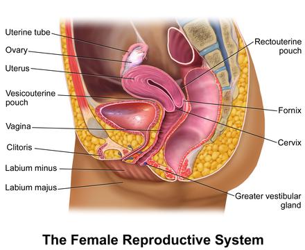 Female Reproductive System Wikipedia Diagram Pinterest