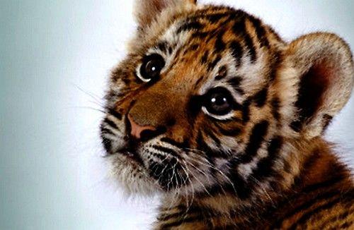 Precious baby tiger