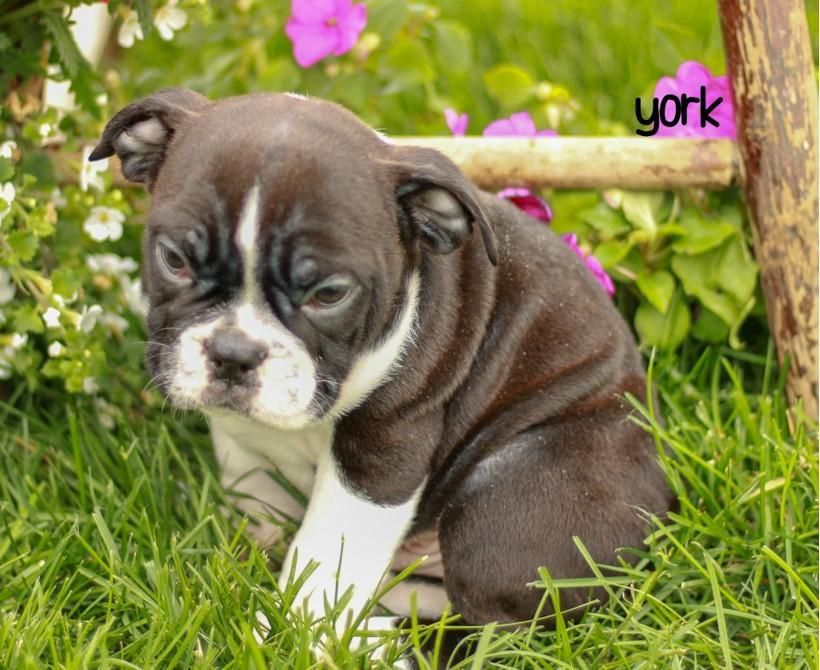 English Bulldog Mix That Doggy In The Window That Doggy In The
