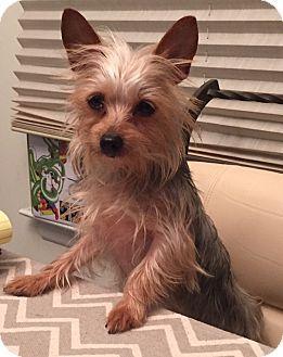 Staten Island, NY Yorkie, Yorkshire Terrier Mix. Meet