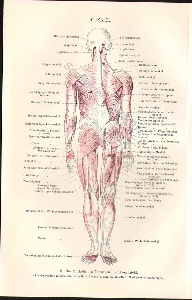 1903 Muscular System Human Anatomy Medical Chromolithograph ...