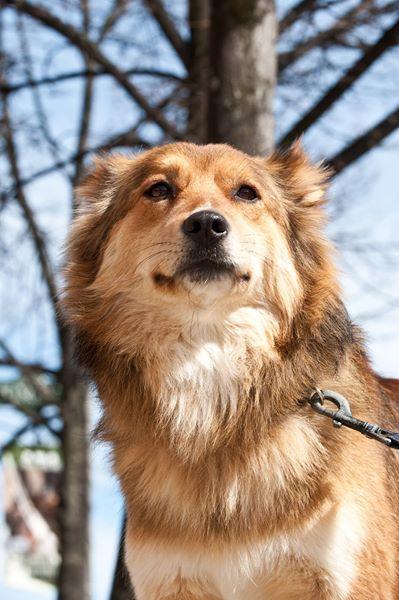 Leo Aidi Pawshake Ottawa Dog Breeds Dogs Golden Retriever