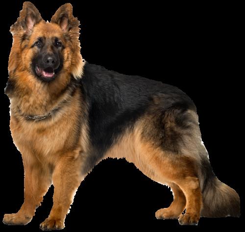 Dog German Shepherd Png Clip Art Dog Images Hd German Shepherd Wallpaper German Shepherd Dogs