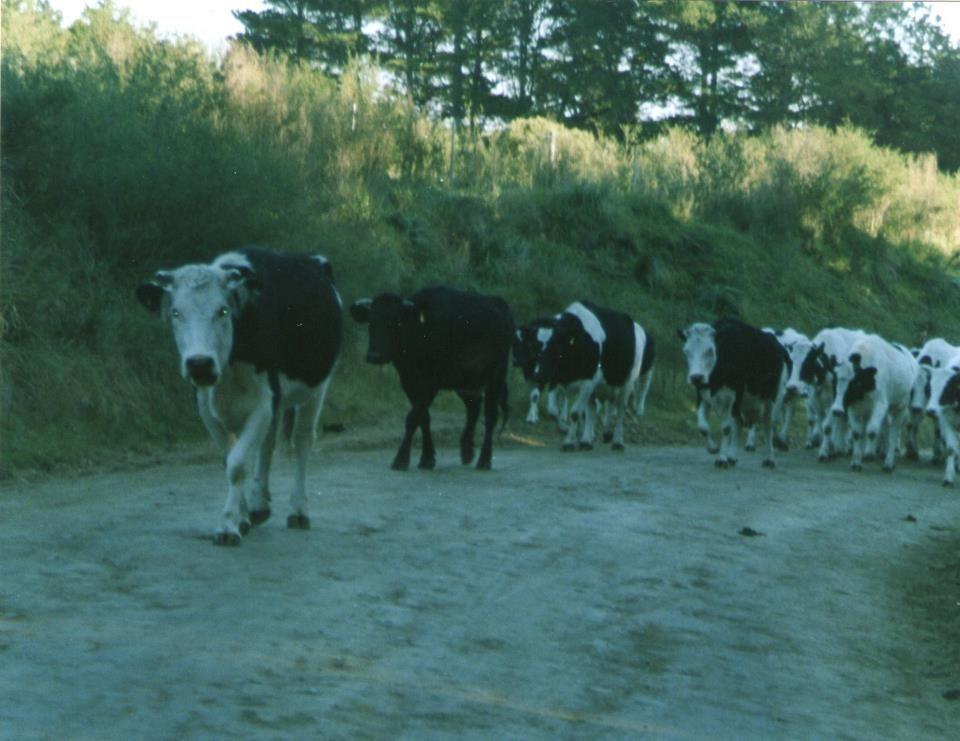 Vacas camino a La Movediza, Tandil, Buenos Aires, Argentina