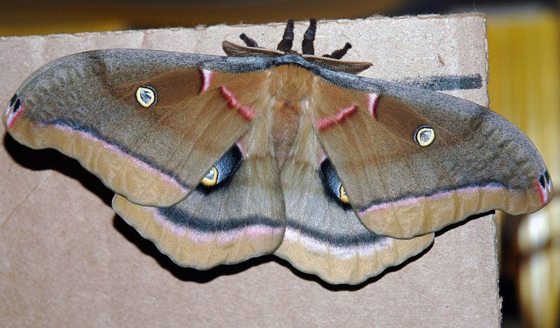 Polyphemus Moth Insekten