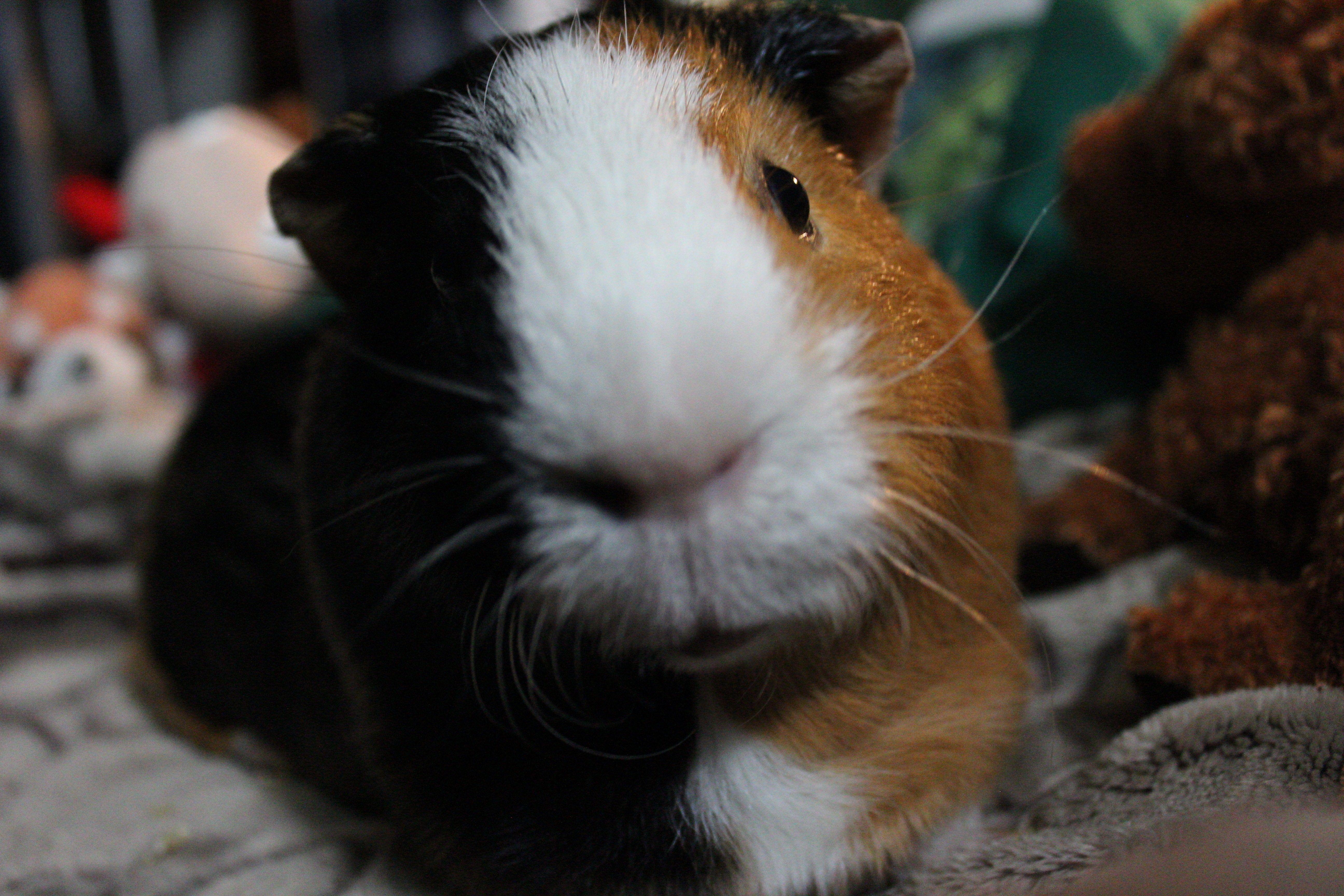 Rumpelstiltskin the Guinea Pig #guinea pig #cute #pets #animals #photography