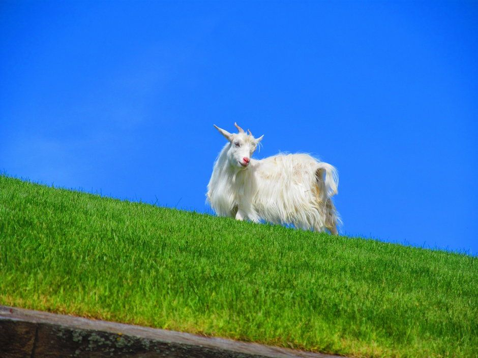 Love the goats on the roof at Al Johnson's restaurant in