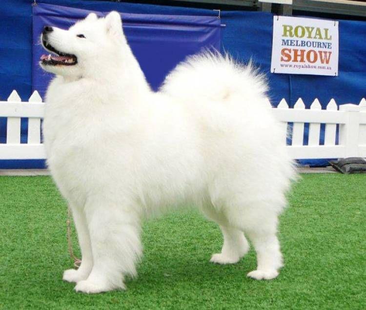 Samoyed With Images Dog Breeder Dog Breed Info Samoyed