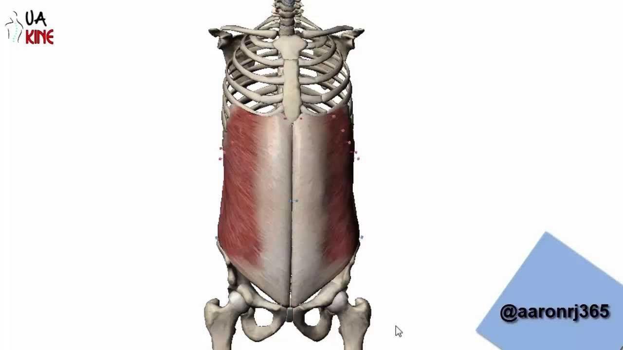 Anatomía Oblicuo Externo (Características) | ESPINALES ,LUMBARES ...