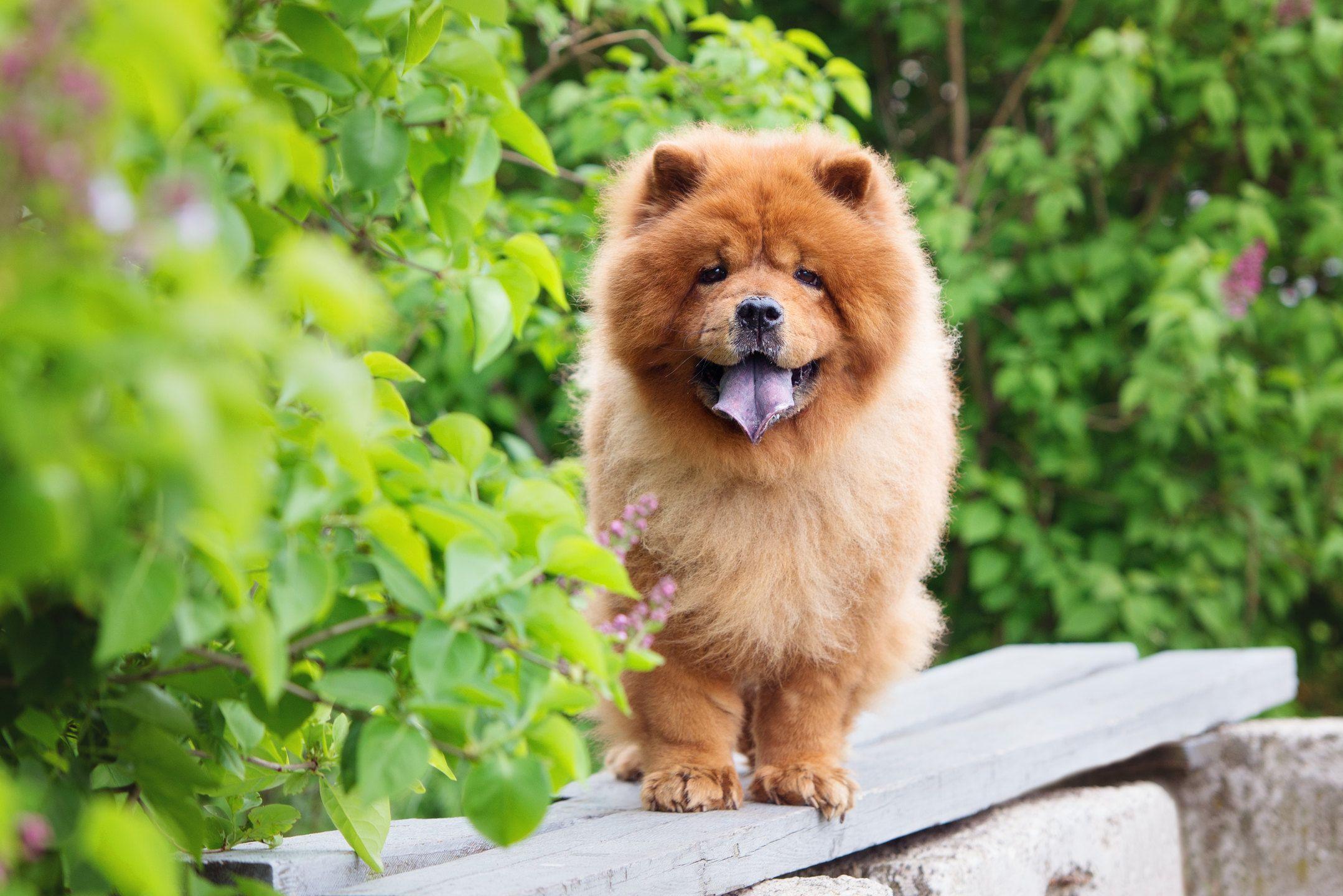Happy Chow Chow Posing Chow Chow Chow Chow Dogs Dog Breeds