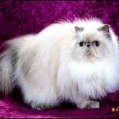 Himalayan persian cat sale