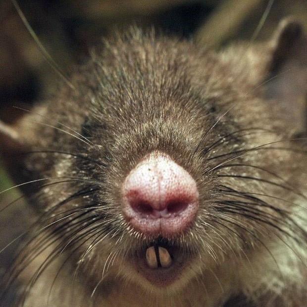 Nova espécie de rato com nariz de porco é encontrada na Indonésia http://glo.bo/1VDuxNZ