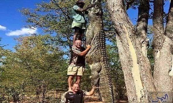 الإمساك بتمساح ضخم بطول ثلاثة رجال
