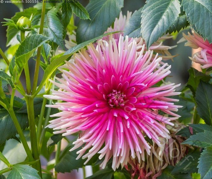 Daalia - daalia kukka kukkiva koristekasvi kukinto nuppu kasvi kesäkukka