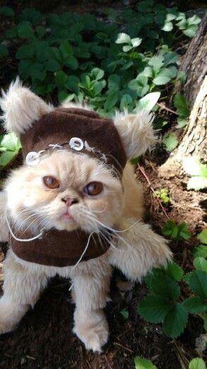 Ewok gato