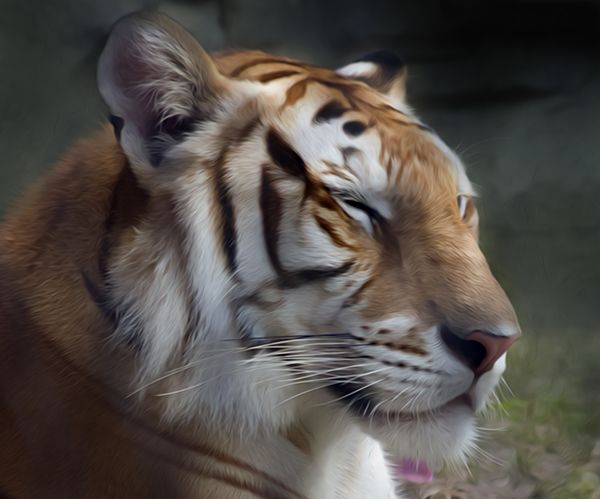 Tiger Deep in thought