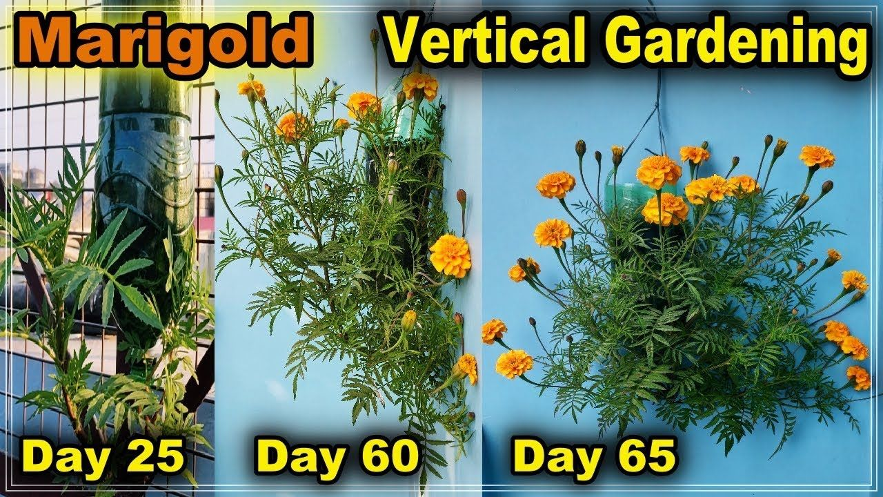 How To Grow Marigold Plant In Bottle L Vertical Gardening L How To