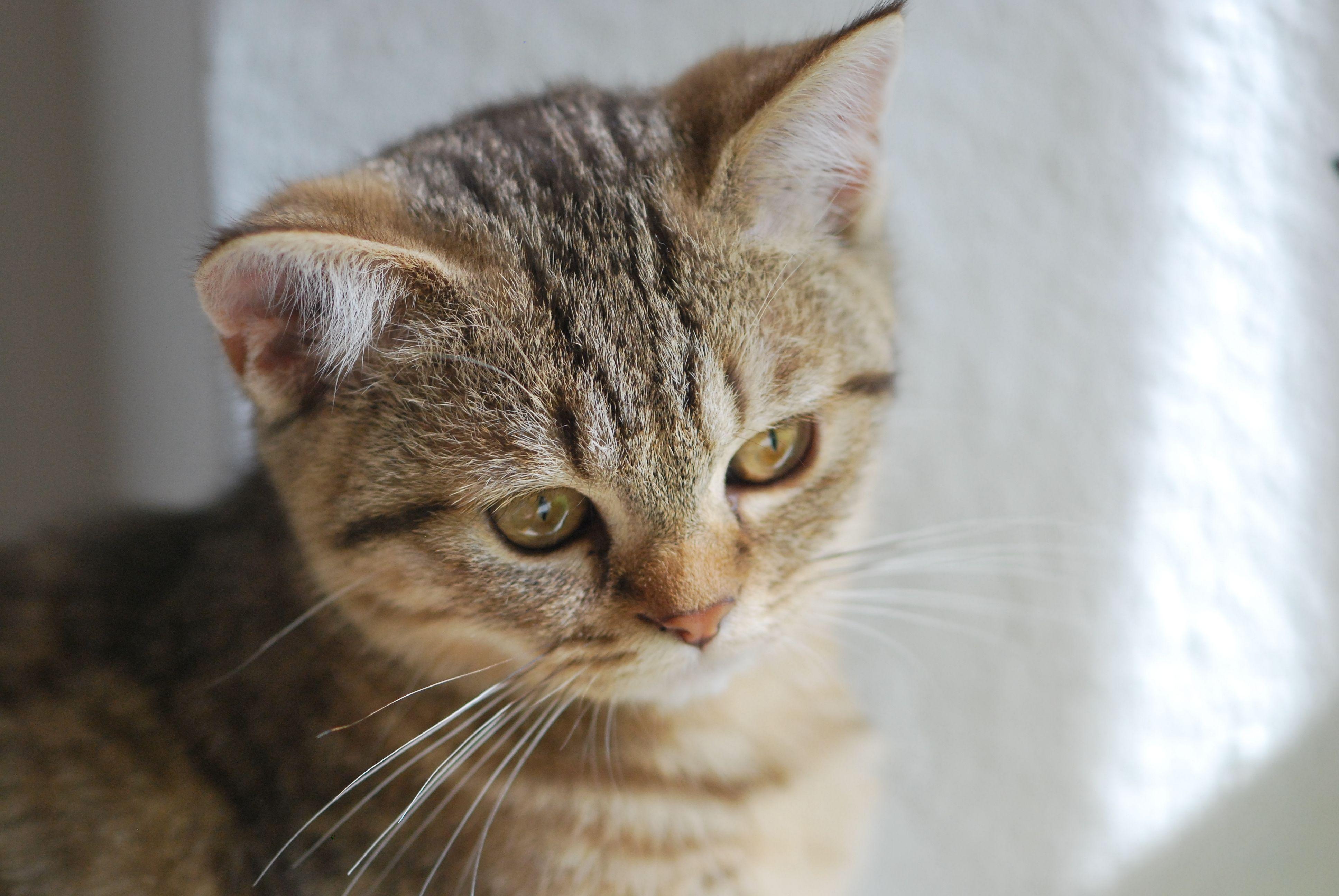 Britisch Kurzhaar Katze (4 Monate alt)