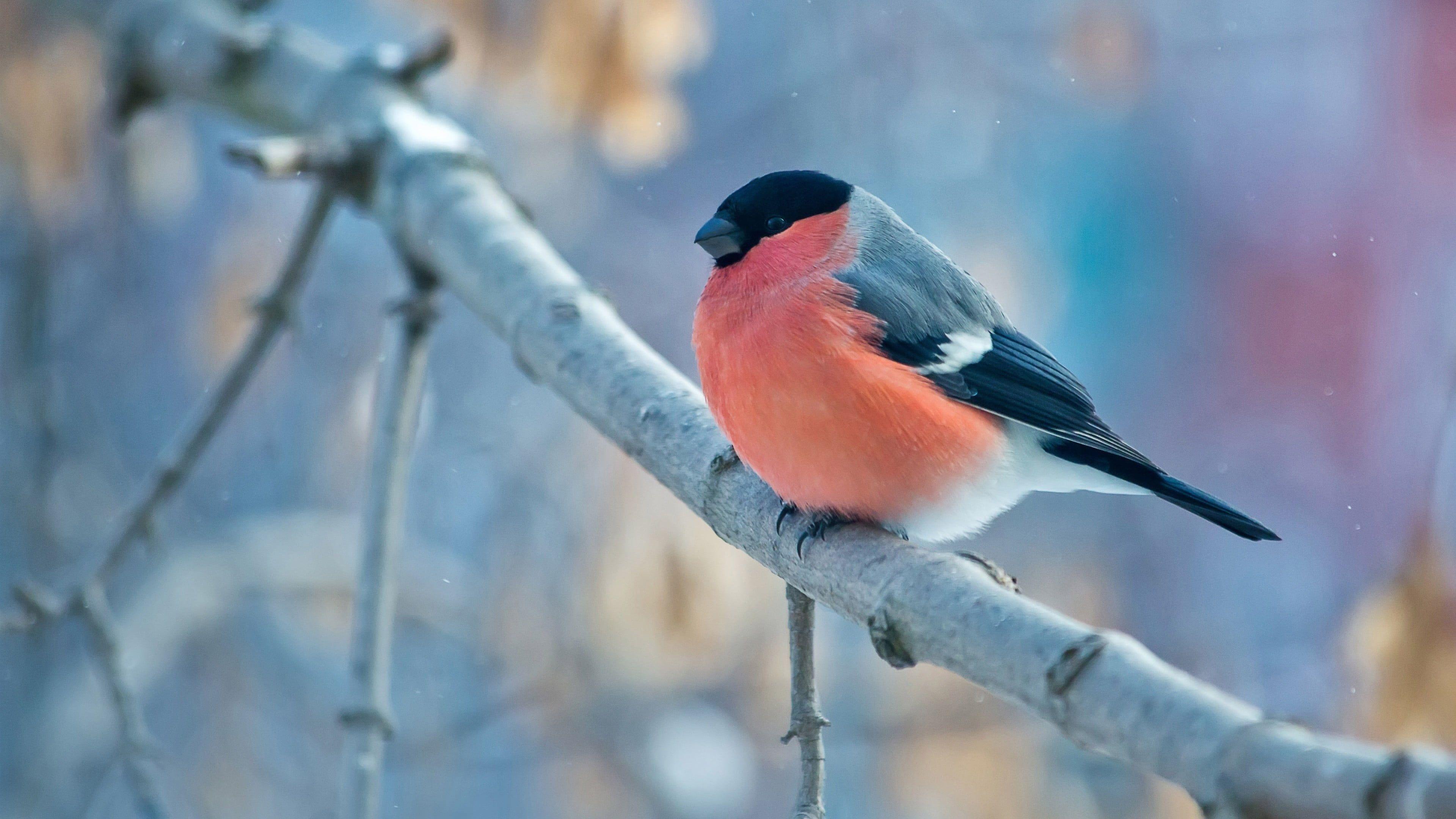 Red And Black Bird Landscape Nature Birds Animals Bullfinch 4k Wallpaper Hdwallpaper Desktop Bird Photo Bird Bullfinch