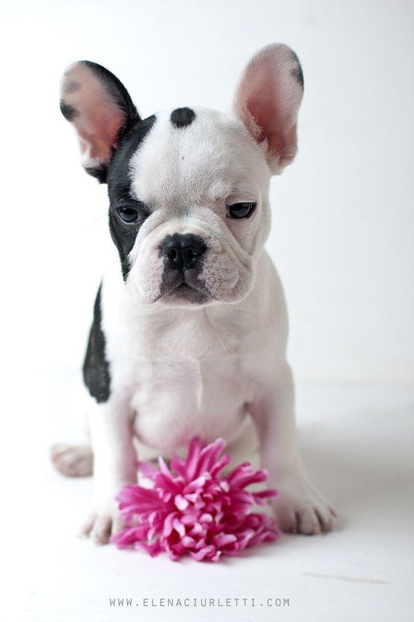French Bulldog Playful And Smart French Bulldog Pinterest
