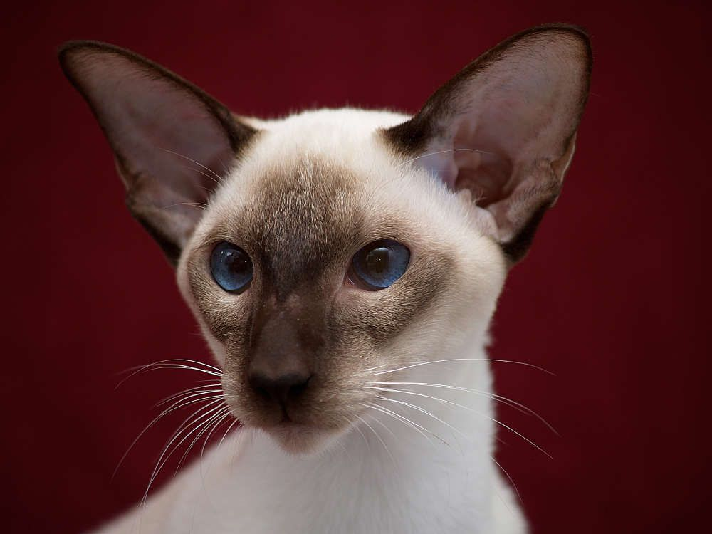 Modern Siamese Chocolate Point Closeup Siamese Cats Balinese Cat Cat With Blue Eyes