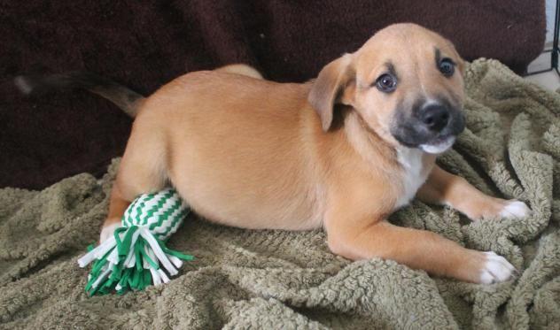 Adopt Buddy On Yellow Labrador Retriever Labrador Retriever Labrador Retriever Mix